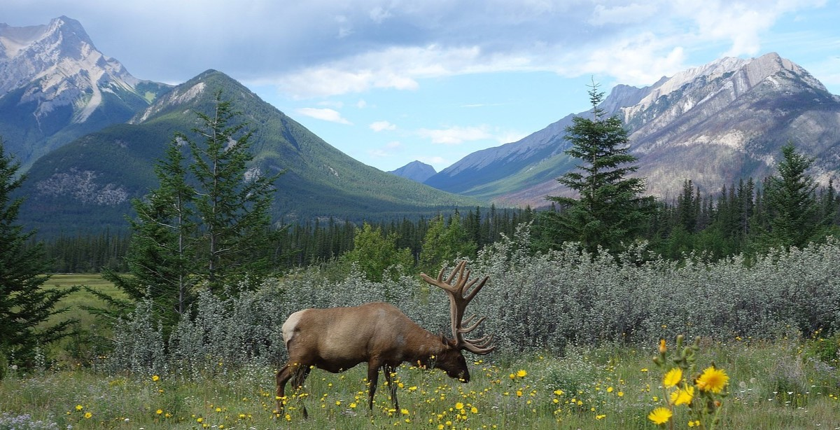 A caribou in a field with mountains in the back