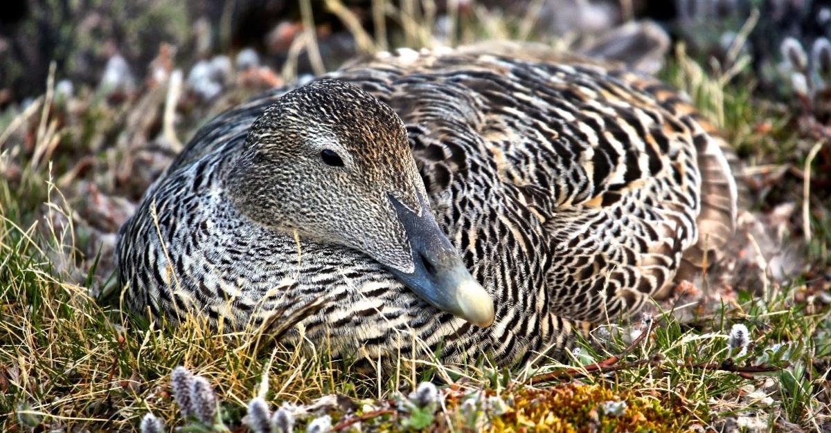 Eider à duvet dans son nid