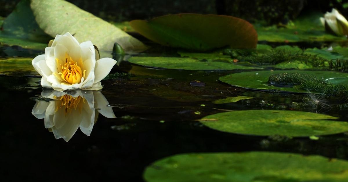 Nénuphar flottant sur un étang
