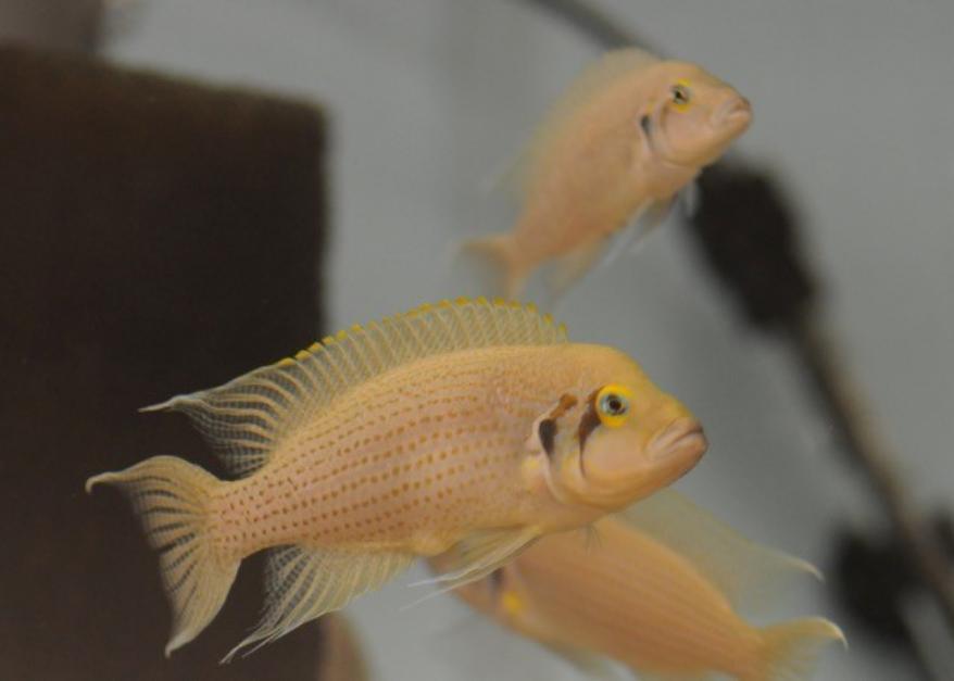 Trois poissons orange