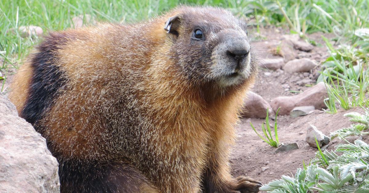 Femelle marmotte à ventre jaune