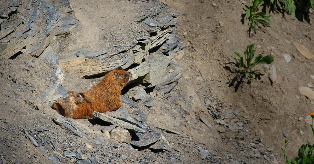 Une mère marmotte à ventre jaune et son petit