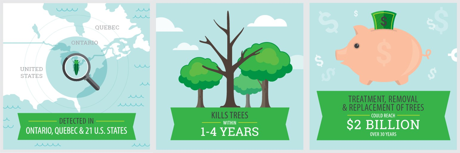Detected in Ontario, Quebec, and 21 U.S. states / Image of dead tree: Kills trees in 1 to 4 years / Image of piggy bank: cost for treatment, removal and replacement of trees could reach $2 billion over 30 years