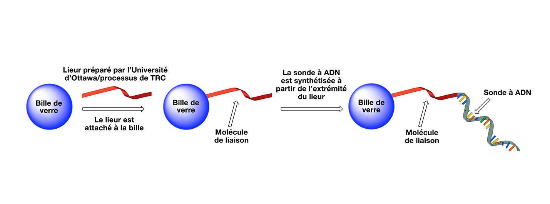 Les trousses de dépistage contiennent des sondes qui sont préparées alors qu'elles sont attachées à la surface de billes de verre grâce à une molécule de liaison non nucléosidique