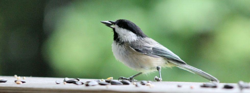 mésange mangeant des graines d'oiseaux